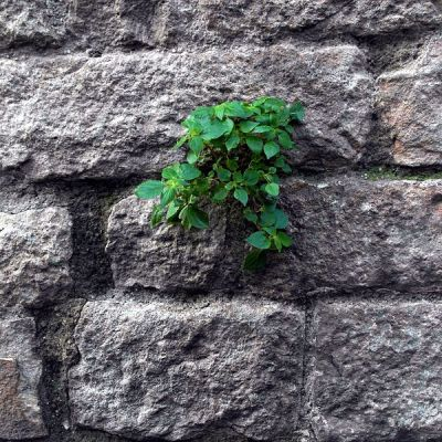 plant_growing_on_the_wall_of_santa_maria_del_pi_barcelona_spain